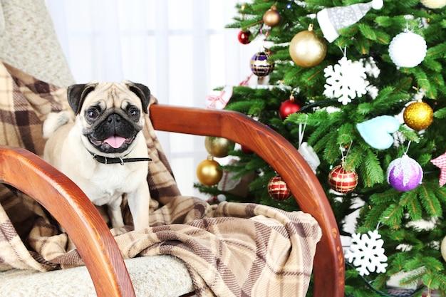 Lustiger, süßer und verspielter mopshund auf schaukelstuhl in der nähe des weihnachtsbaums auf hellem hintergrund