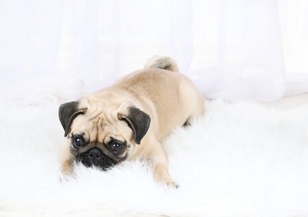Lustiger, süßer und verspielter mopshund auf weißem teppich