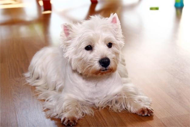 Lustiger weißer hund zu hause