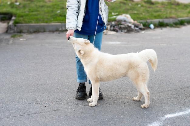 Lustiger weißer husky, neben dem besitzer. foto in hoher qualität