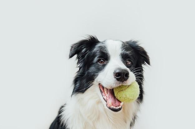 Lustiger welpenhunde-grenzcollie, der spielzeugball im mund lokalisiert auf weißem hintergrund hält