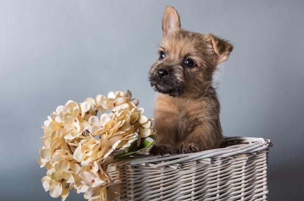 Lustiger wheaten oder roter cairn terrier hündchen in einem korb mit weißen hortensienblumen. studioporträt lokalisiert auf grauem studiohintergrund.