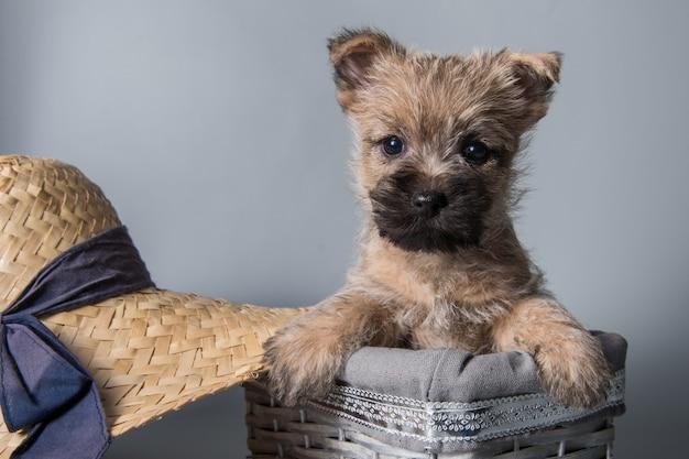 Lustiger wheaten oder roter cairn terrier hündchen sitzt im kasten mit großem strohhut auf grauem hintergrund.