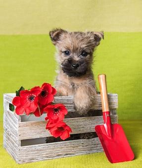 Lustiger wheaten oder roter cairn terrier hündchen sitzt im kasten mit roten mohnblumen und schaufel auf grünem hintergrund.