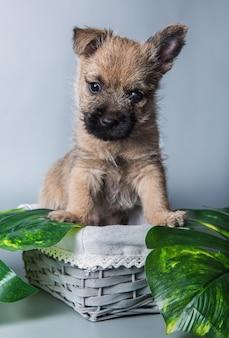 Lustiger wheaten oder roter cairn terrier hündchen sitzt im korb mit grünen blättern. studioporträt lokalisiert auf grauem studiohintergrund.