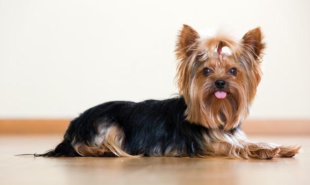 Lustiger yorkshire terrier