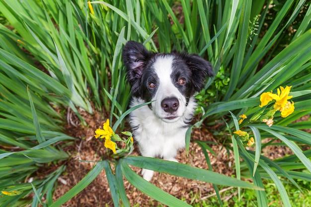 Lustiges außenporträt des niedlichen lächelnden welpenhunde-grenzcollies, der auf grünem rasen im park oder im garten sitzt