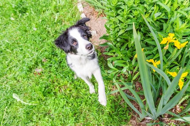 Lustiges außenporträt des niedlichen lächelnden welpenhunde-grenzcollies, der auf grünem rasen in park oder garten sitzt
