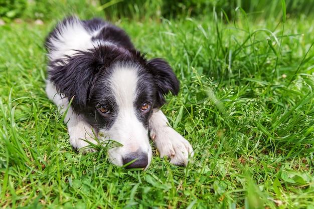 Lustiges außenporträt des niedlichen lächelnden welpenhunde-grenzcollies, der unten auf grünem grasrasen im park oder im garten liegt