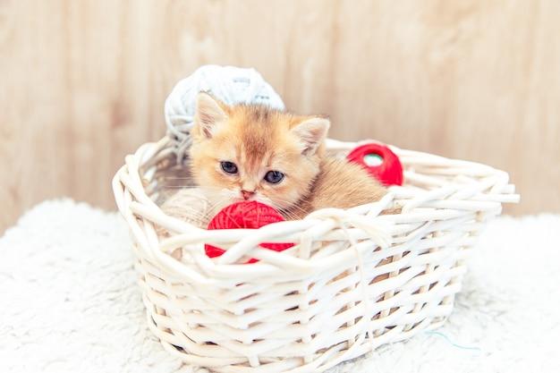 Lustiges britisches kätzchen, das in einem korb mit fadenbällen sitzt.