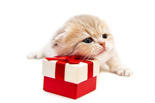 Lustiges britisches kätzchen mit einem geschenk festliches konzept isoliert auf weiß