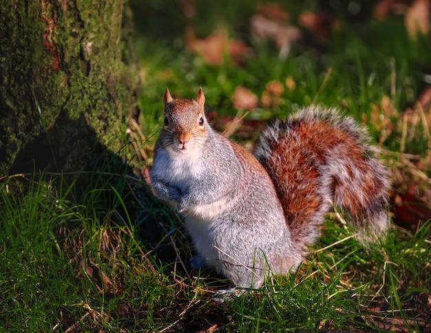 Lustiges eichhörnchen sitzt auf gras nahe einem baum in hyde park in london