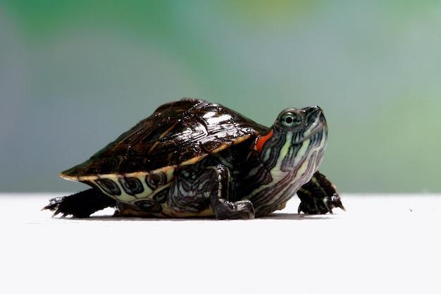 Lustiges gesicht brasilianische schildkröte, niedliche kleine brasilianische schildkröte, nahaufnahmegesicht brasilianische schildkröte