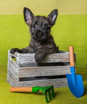 Lustiges gestromtes cairn-terrier-hündchen sitzt im kasten mit schaufel und rechen auf grünem hintergrund.