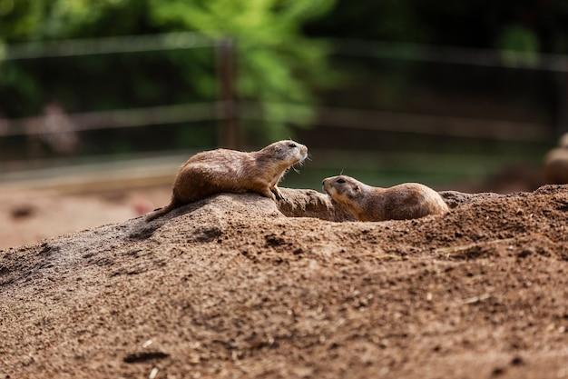 Lustiges gophers eichhörnchen im zoo. hamster in der natur. nahaufnahme der schnauze von flauschigen gophern. selektiver fokus