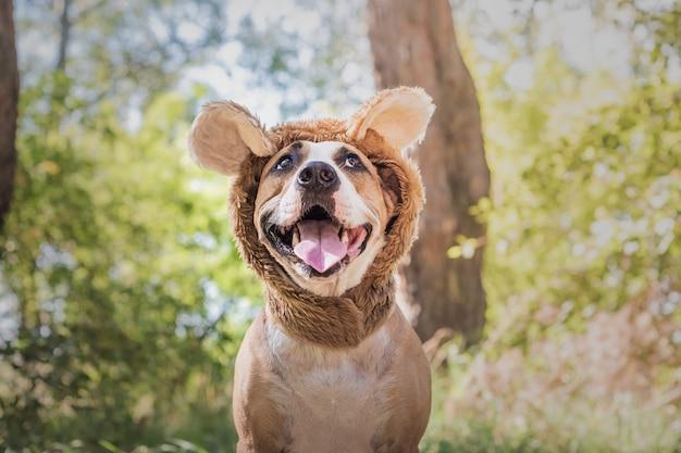 Lustiges hundeporträt im bärenhut im freien fotografiert. glücklicher lächelnder staffordshire terrier sitzt im wilden tierkostüm auf sonniger wiese