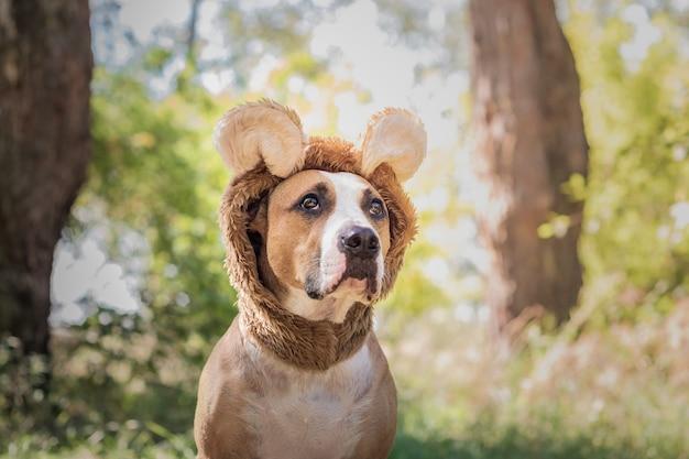 Lustiges hundeporträt im bärenhut im freien fotografiert. netter staffordshire terrier sitzt im wildtierkostüm auf sonniger wiese