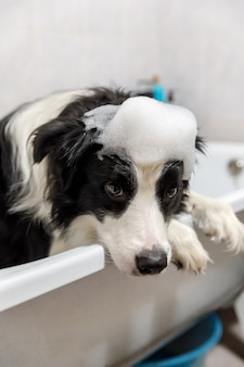 Lustiges innenporträt des welpenhunde-grenzcollies, der im bad sitzt, erhält schaumbad, das mit shampoo duscht.