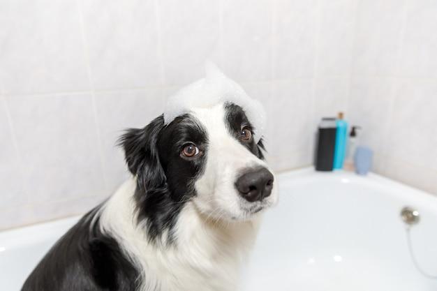 Lustiges innenporträt des welpenhunde-grenzcollies, der im bad sitzt, erhält schaumbad, das mit shampoo duscht
