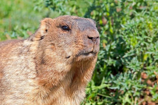 Lustiges maulkorb-murmeltier mit flauschigem fell, das an einem sonnigen warmen tag auf einer wiese sitzt,