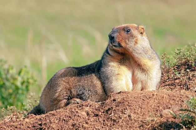 Lustiges murmeltier mit flauschigem fell sitzt an einem sonnigen warmen tag auf einer wiese