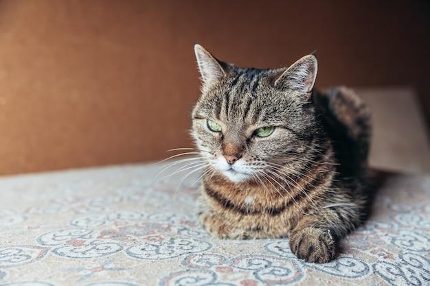 Lustiges porträt arroganter kurzhaariger tabbykatze, die zu hause drinnen entspannt