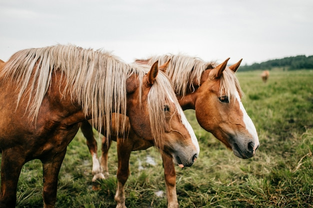 Lustiges porträt der nahen künstlerischen stimmung des pferdes an der weide im freien bei natur. schöne schnauze für pferde. landwirtschaft und viehzucht im sommer. haustiere säugetiere wildtiere. starker wilder mustang