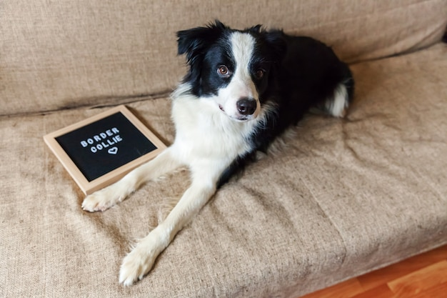 Lustiges porträt des niedlichen hündchens auf der couch mit briefbrettinschrift border collie wort. neues schönes familienmitglied kleiner hund zu hause, der auf belohnung schaut und wartet. haustierpflege und tierkonzept.