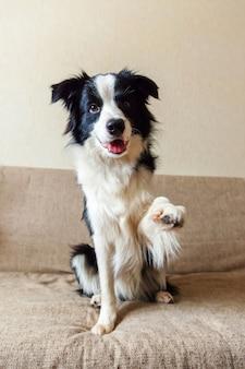 Lustiges porträt des niedlichen lächelnden welpenhunde-grenzcollies auf der couch. neues schönes familienmitglied kleiner hund zu hause, der auf belohnung schaut und wartet. haustierpflege und tierkonzept.