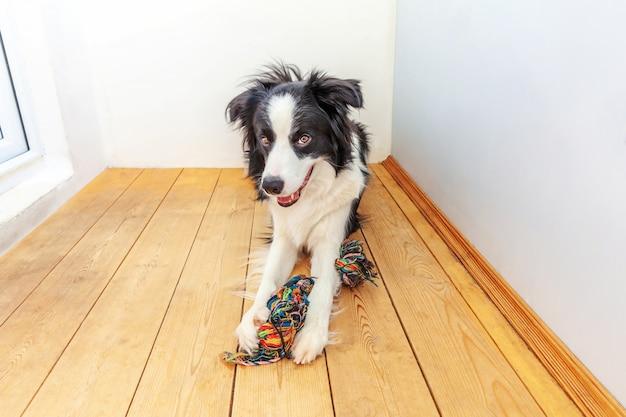 Lustiges porträt des niedlichen lächelnden welpenhunde-grenzcollies, der buntes seilspielzeug im mund hält. neues schönes familienmitglied kleiner hund zu hause, der mit besitzer spielt. haustierpflege und tierkonzept.