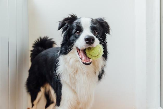Lustiges porträt des niedlichen lächelnden welpenhunde-grenzcollies, der spielzeugball im mund hält