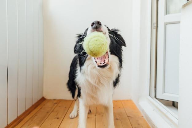 Lustiges porträt des niedlichen lächelnden welpenhunde-grenzcollies, der spielzeugball im mund hält.