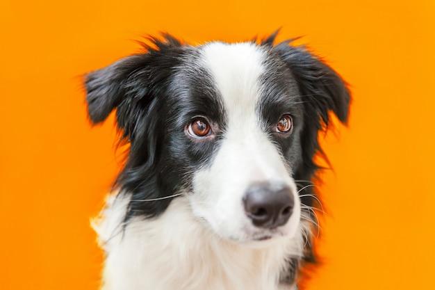 Lustiges porträt des niedlichen lächelnden welpenhunde-grenzcollies lokalisiert auf orange. neues schönes familienmitglied kleiner hund, der schaut und auf belohnung wartet. haustierpflege und tierkonzept.