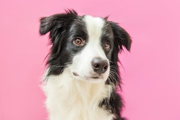 Lustiges porträt des niedlichen lächelnden welpenhunde-grenzcollies lokalisiert auf rosa. neues schönes familienmitglied kleiner hund, der schaut und auf belohnung wartet. haustierpflege und tierkonzept.