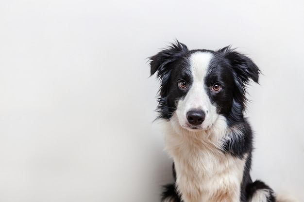 Lustiges porträt des niedlichen lächelnden welpenhunde-grenzcollies lokalisiert auf weiß. neues schönes familienmitglied kleiner hund, der schaut und auf belohnung wartet. lustiges haustier-tier-lebenskonzept.