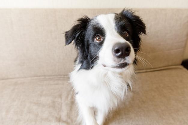 Lustiges porträt des niedlichen welpenhunde-grenzcollies auf couch zu hause drinnen