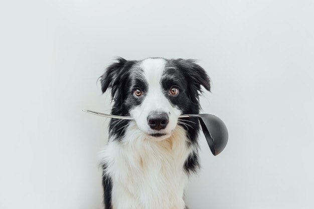 Lustiges porträt des niedlichen welpenhunde-grenzcollies, der küchenlöffelkelle im mund lokalisiert auf weiß hält