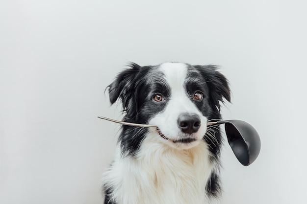 Lustiges porträt des niedlichen welpenhunde-grenzcollies, der küchenlöffelpfanne im mund lokalisiert auf weißem hintergrund hält.
