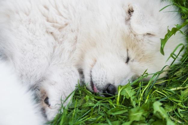 Lustiges samojeden-hündchen schläft im garten