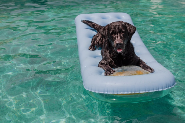 Lustiges schwarzes labrador, das auf einer aufblasbaren auflage liegt und am swimmingpool sich entspannt. feiertage, entspannen sich und machen mit hundekonzept urlaub