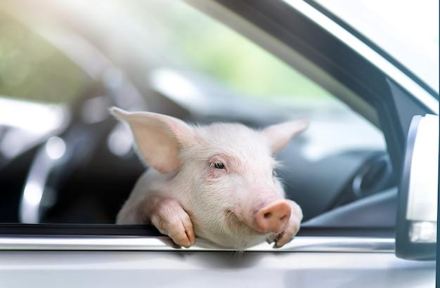 Lustiges schwein, das seine pfoten am lenkrad eines autos hängt.