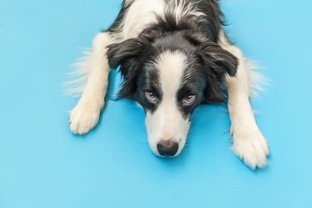 Lustiges studioporträt des niedlichen lächelnden welpenhunde-grenzcollies lokalisiert auf blauer oberfläche. neues schönes familienmitglied kleiner hund, der schaut und auf belohnung wartet. haustierpflege und tierkonzept