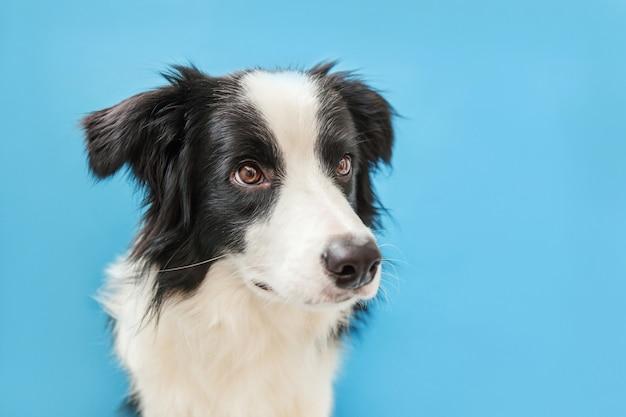 Lustiges studioporträt des niedlichen lächelnden welpenhunde-grenzcollies lokalisiert auf blauer wand. neues schönes familienmitglied kleiner hund, der schaut und auf belohnung wartet. haustierpflege und tierkonzept