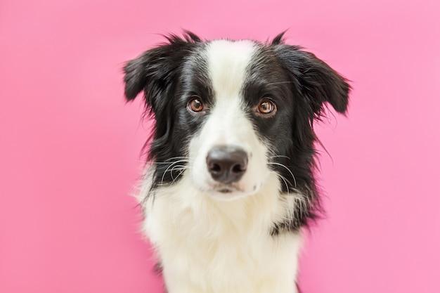 Lustiges studioporträt des niedlichen lächelnden welpenhunde-grenzcollies lokalisiert auf rosa wand. neues schönes familienmitglied kleiner hund, der schaut und auf belohnung wartet. haustierpflege und tierkonzept