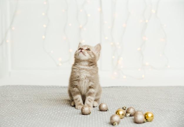 Lustiges süßes graues kätzchen. schottisch gerade. licht und weihnachtskugeln