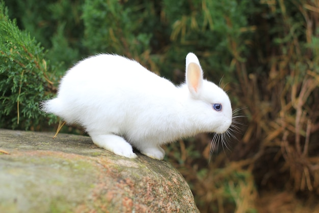 Lustiges weißes kaninchen bereitet sich vor zu springen. foto eines pelzigen haustieres.
