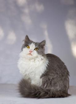 Lustiges zweifarbiges kätzchen zu hause. weiße und graue katze
