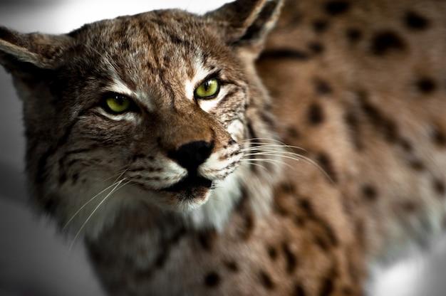 Lynx taxidermy