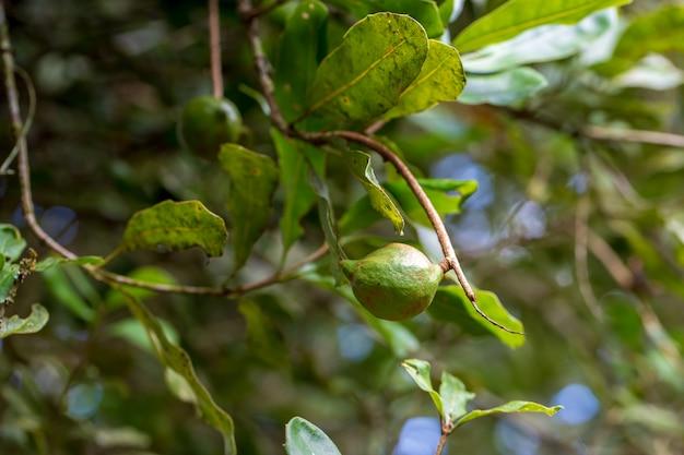 Macadamianüsse bereit zum ernten