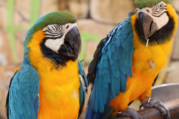 Macaw papagei